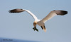 Northern Gannet, Bonaventure Island, QC. They drop their tail to slow down for landing.