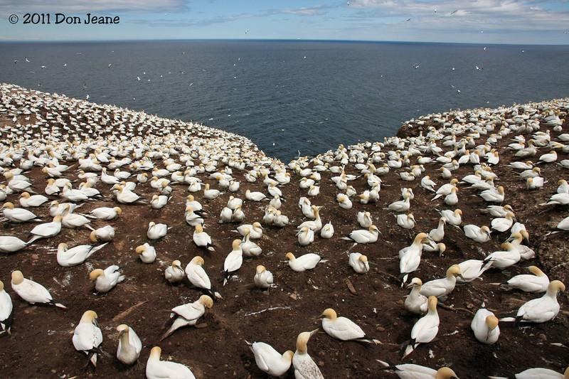 Northern Gannet colony, Bonaventure Island, QC.