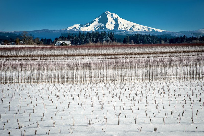 Small tree saplings graduating to their larger brothers and sisters with Mt. Hood in the background.