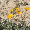 Desert Sunflowers were everywhere.