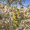 Creostote Bush has lots of tiny yellow flowers.