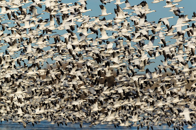 Snow Goose Commute