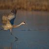 Sandhill Crane Taking Off From Frozen Pond