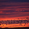"Morning ""Blast-off"" Snow Geese and Sandhill Cranes"