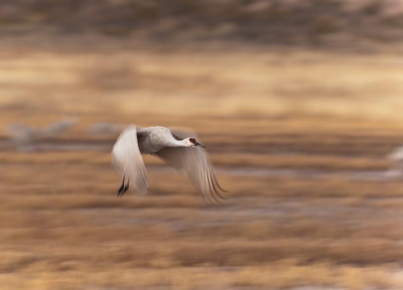 Intentional Blur Sandhill Crane