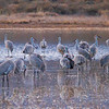 Sandhill Cranes gathering to overnight on a pond