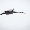 Sandhill Crane in glider mode.