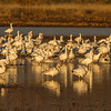 Snow Geese in morning sun.