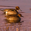 Pintails- male and female in evening sun.