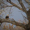 Mature Bald Eagle- one of many on the refuge.