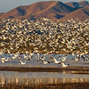 Hundreds of snow geese take flight.