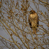 Another red-tailed hawk scans for a meal.