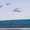 The cranes feed in grain fields during the day and return to the shallow ponds each night to roost.