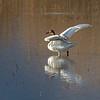 A Tundra Swan