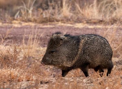 Javelina - Wild pig