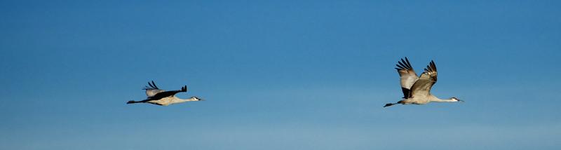 Sandhill cranes flying away (last 2)