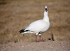 White (or light or snow) goose