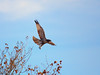 Red tail hawk taking off