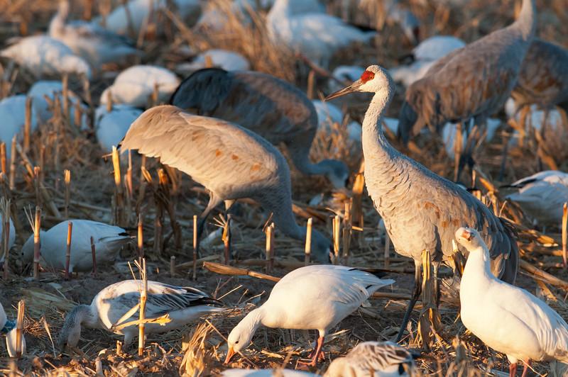 Aflac Goose