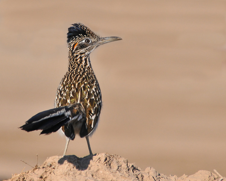 Road Runner---Although present at Bosque this photo taken at Salton Sea