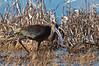 Ibis---Actually taken at Bitter Lakes NWL refuge