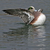 "American Wigeon - NM Inst. of Mines. 11/29/2004.They would duck under the water, then come up and ""shake off""."
