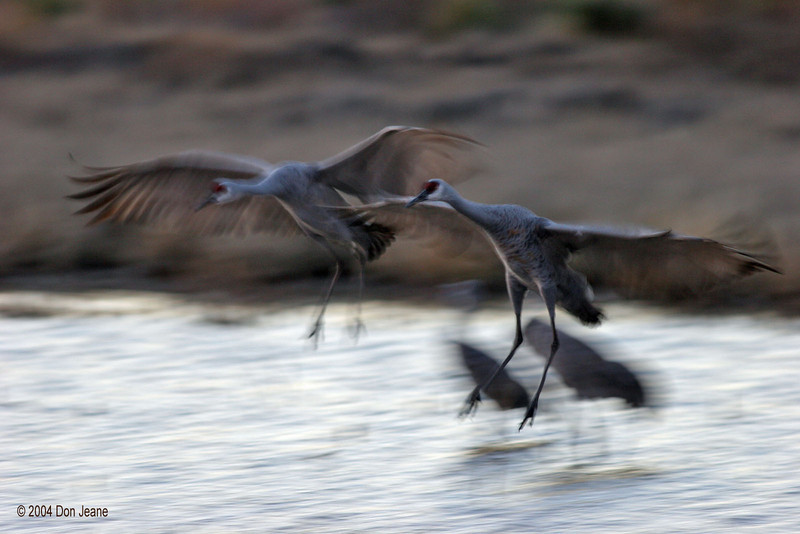 Sandhill Cranes - some people like the blur. 11/27/2004.