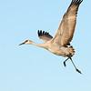 Sandhill crane. 11/30/2004.