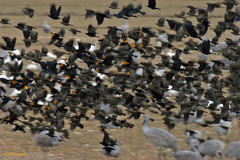 Blackbird Blastoff, Farm Loop. 11/28/2004.