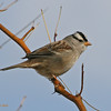 Mature White-Crowned Sparrow. 11/29/2004.