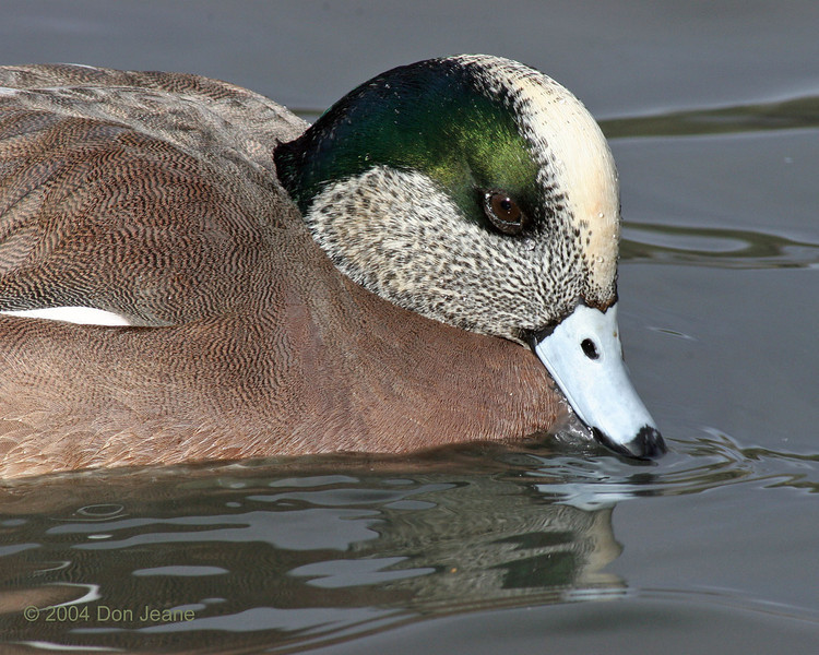 American Wigeon - NM Inst. of Mines. 11/29/2004.