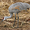 Sandhill Crane feeding - Farm Loop. 11/28/2004.