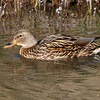 Mallard hen in the canal. 11/30/2004.