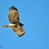 Red-tailed Hawk over Marsh Trail, Bosque, 11/12/10.