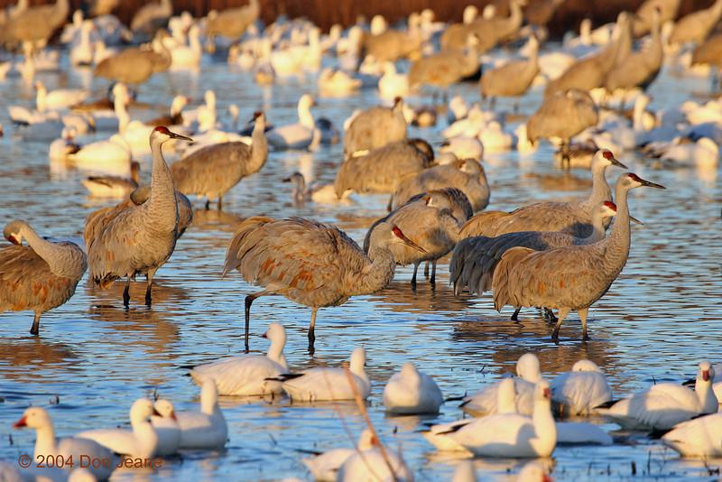 Sandhill Cranes, Snow Geese in Crane Pool. 11/27/2004.