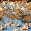 Sandhill Cranes, Snow Geese in Crane Pool. 11/27/2004.