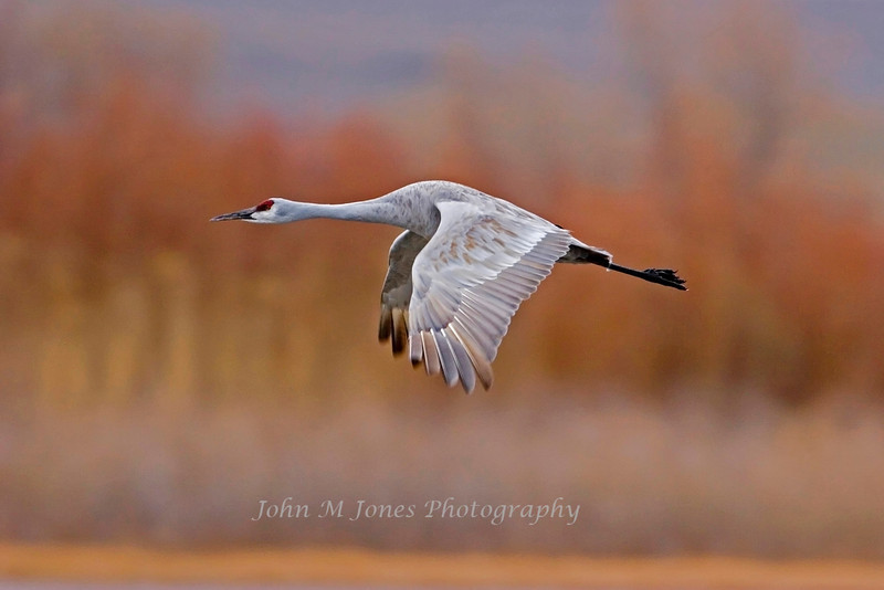 Sandhill Crane flying, Bosque del Apache NWR, New Mexico