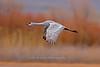 Sandhill Crane flying, Bosque del Apache NWR, New Mexico