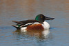 Northern Shoveler on pond, Bosque del Apache NWR, New Mexico