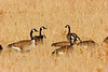 Canada Geese in field, Bosque del Apache NWR, New Mexico