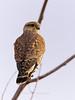Merlin, Bosque del Apache NWR, New Mexico