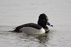 Ring-necked Duck on pond, Bosque del Apache NWR, New Mexico