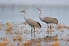 Sandhill Cranes in pond, Bosque del Apache NWR, New Mexico