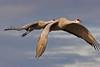 Sandhill Cranes flying, Bosque del Apache NWR, New Mexico