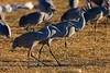 Sandhill Cranes in field, Bosque del Apache NWR, New Mexico