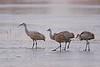 Sandhill Cranes on frozen pond, Bosque del Apache NWR, New Mexico