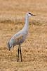 Sandhill Crane in field, Bosque del Apache NWR, New Mexico
