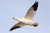 Ross's Goose in flight, Bosque del Apache NWR, New Mexico