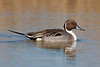Northern Pintail on pond, Bosque del Apache NWR, New Mexico