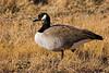 Canada Goose in field, Bosque del Apache NWR, New Mexico